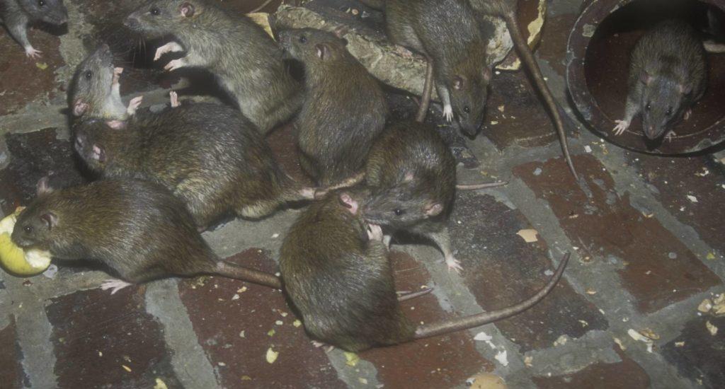уничтожение крыс в Электростали